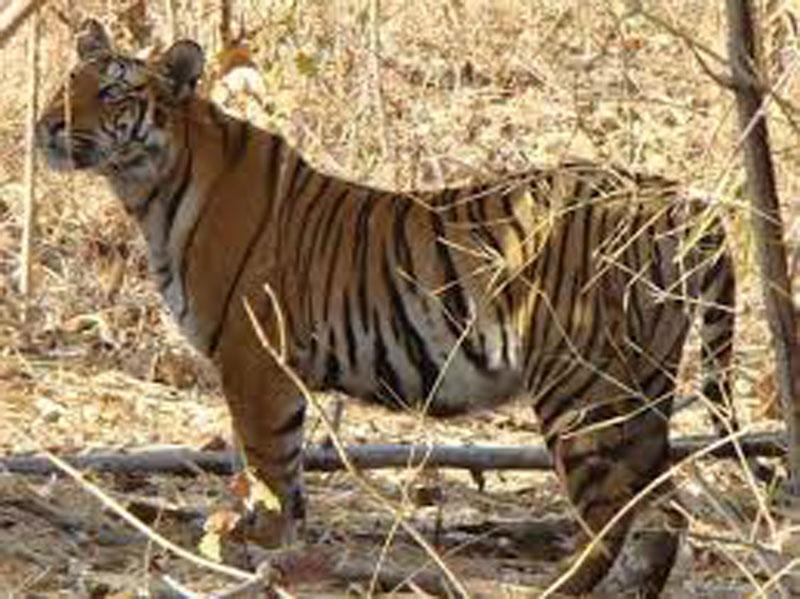 Tigris in akole