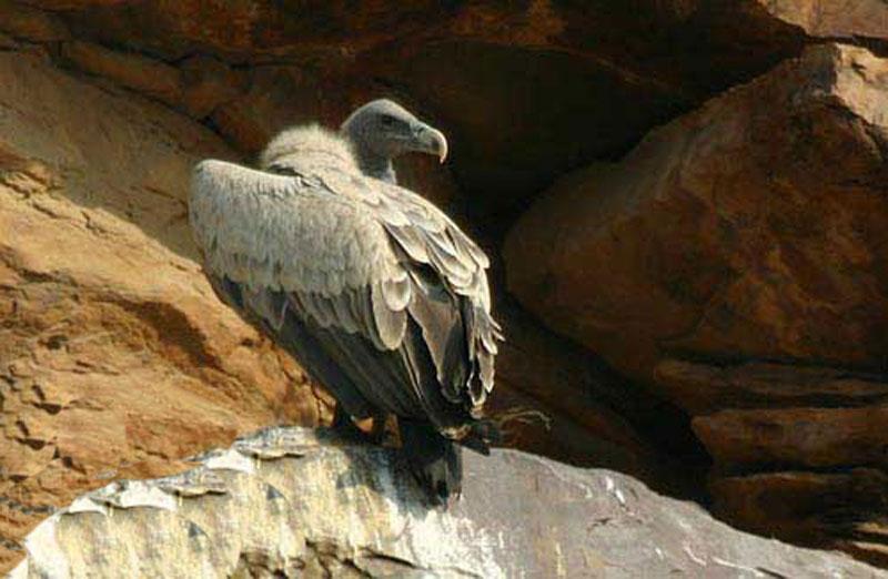 dossier-vautour-indien-corniche-nvm