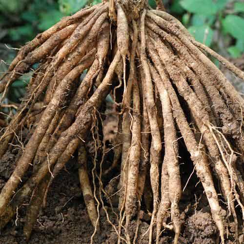shatavari-root