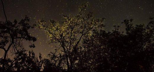 Bhandardara-kajva-Fireflies